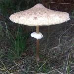 gljiva-neka
