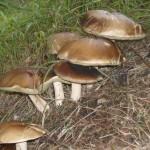 gljive-vrganji