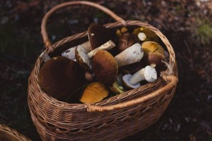 gljive-kosara