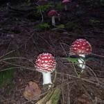 gljive-03