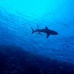 shark-2683184_1920