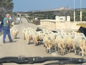 ovce-na-cesti-copy